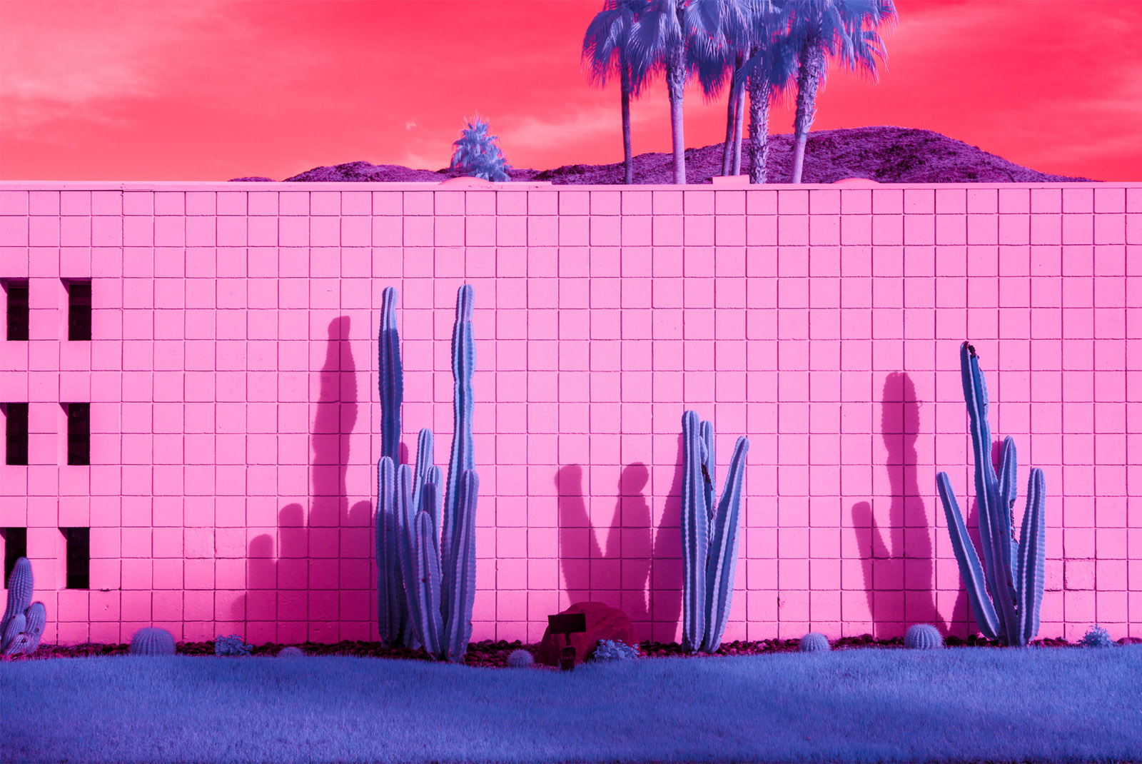 Infrared image of a cactus in front of a brick wall in Palm Springs with palm treesin the background