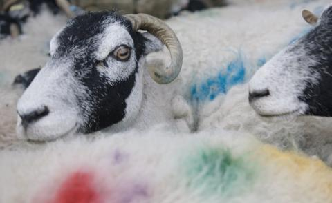 Still from a film featuring colourful sheep to promote Peter Saville Kvadrat collection of textiles