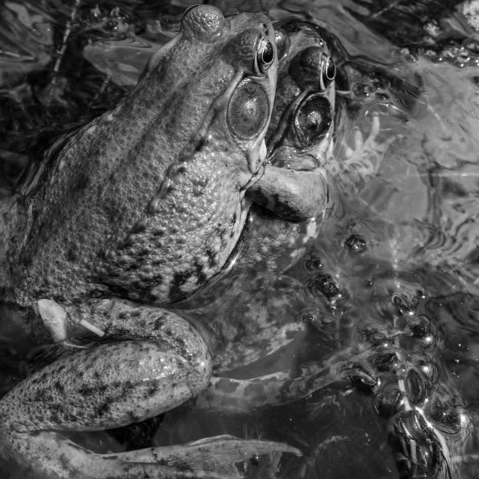 Mating frogs from Larry Fink's quarantine photography series created during Covid-19