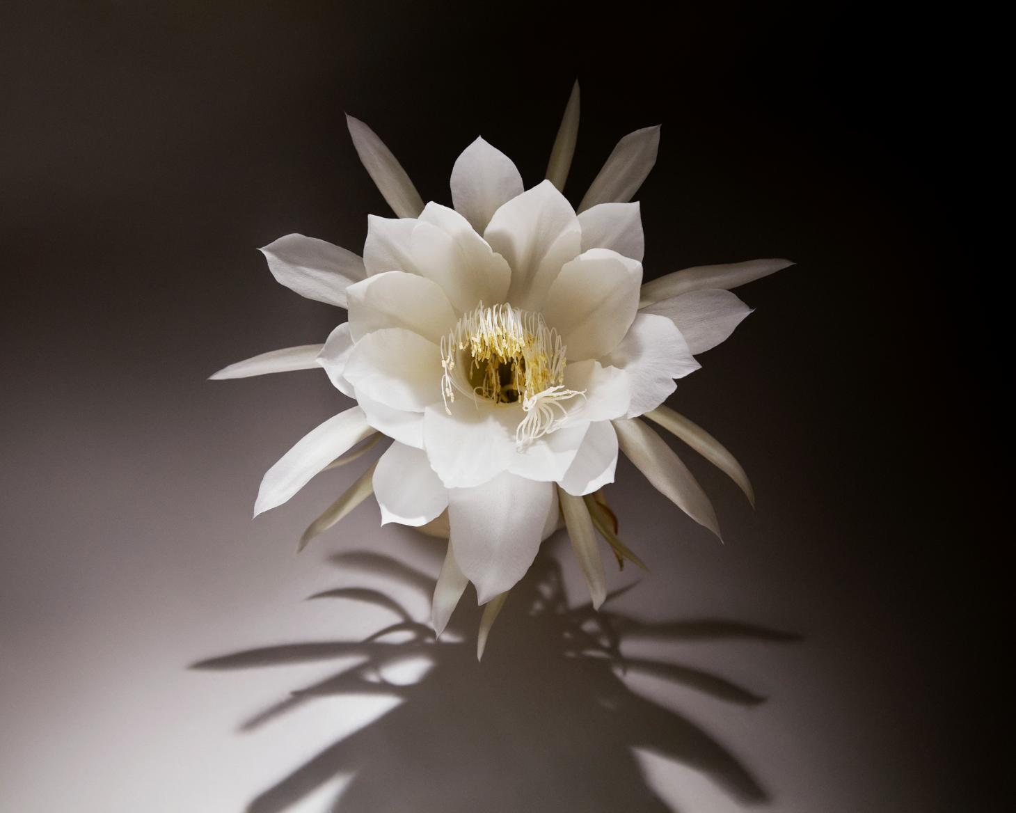 rare orchid cactus known as Queen of the Night that is infused into seventy one gin